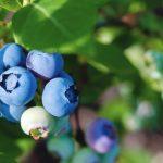 Blueberry Iced Coffee Recipe