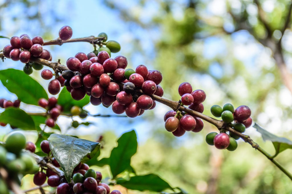100% Guatemalan Coffee Review